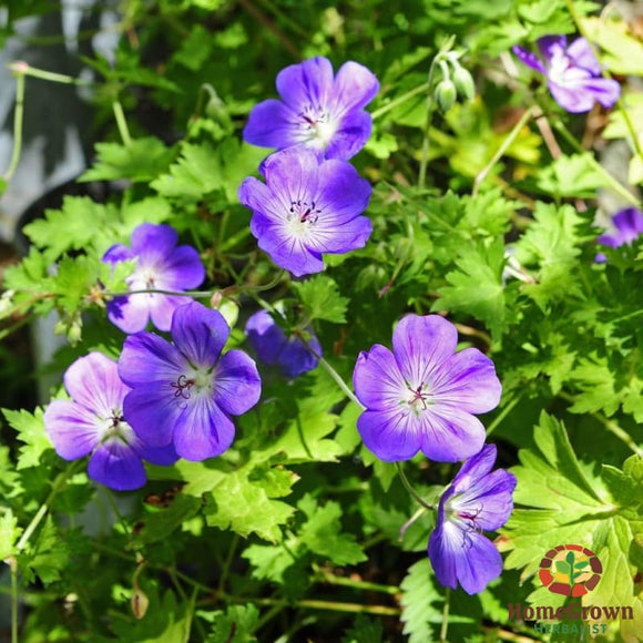 Cranesbill (Geranium maculatum) - simple HomeGrown Herbalist Cranesbill herb simple single