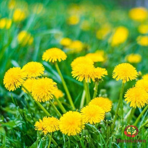 Dandelion Leaf (Taraxacum officinale) - simple HomeGrown Herbalist Dandelion herb leaf simple single