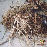 Echinacea Root (E. purpurea) - simple HomeGrown Herbalist Echinacea herb root simple single