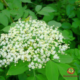 Elder Leaf (Sambucus spp.) - simple HomeGrown Herbalist Elder Leaf herb simple single