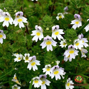 Eyebright (Euphrasia officinalis) - simple HomeGrown Herbalist Eyebright herb root simple single