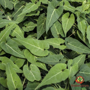 Fo Ti (Polygonum multiflorum) - simple HomeGrown Herbalist Fo Ti herb simple single