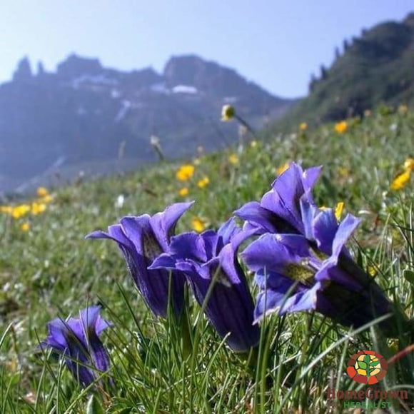 Gentian (Gentiana lutea) - simple HomeGrown Herbalist Gentian herb simple single