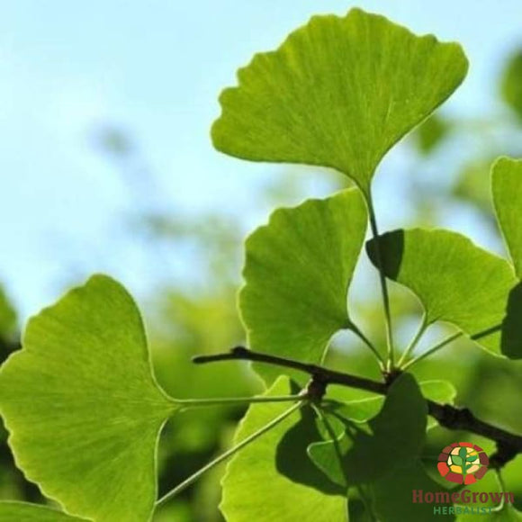 Gingko (Gingko biloba) - simple HomeGrown Herbalist Gingko biloba herb simple single