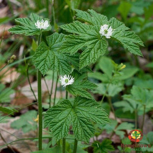 Goldenseal (Hydrastis canadensis) - simple HomeGrown Herbalist Goldenseal herb simple single