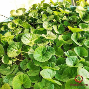 Gotu Kola (Centella asiatica) - simple HomeGrown Herbalist Gotu Kola herb simple single