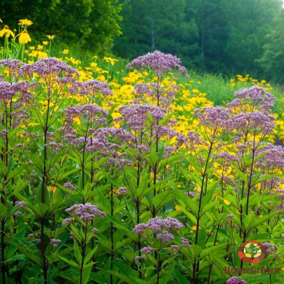 Gravel Root (Eupatorium purpureum) - simple HomeGrown Herbalist Gravel Root herb simple single