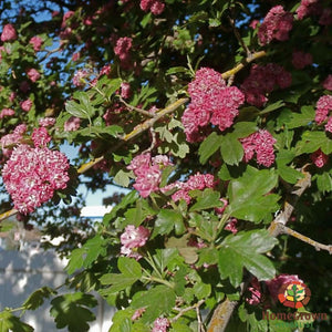 Hawthorn (Crataegus spp.) - simple HomeGrown Herbalist Hawthorn herb simple single