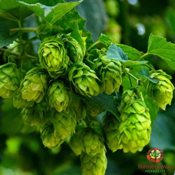 Hops (Humulus lupulus) - simple HomeGrown Herbalist herb Hops simple single
