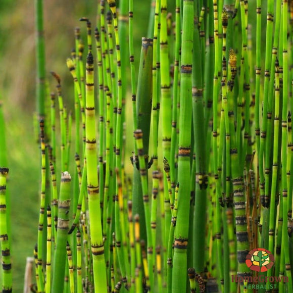 Horsetail (Equisetum spp.) - simple HomeGrown Herbalist herb Horsetail simple single