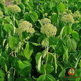 Hydrangia (Hydrangia aborescens) - simple HomeGrown Herbalist herb Hydrangia simple single