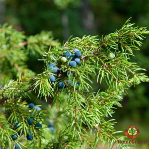 Juniper (Juniperus communis) - simple HomeGrown Herbalist herb Juniper simple single