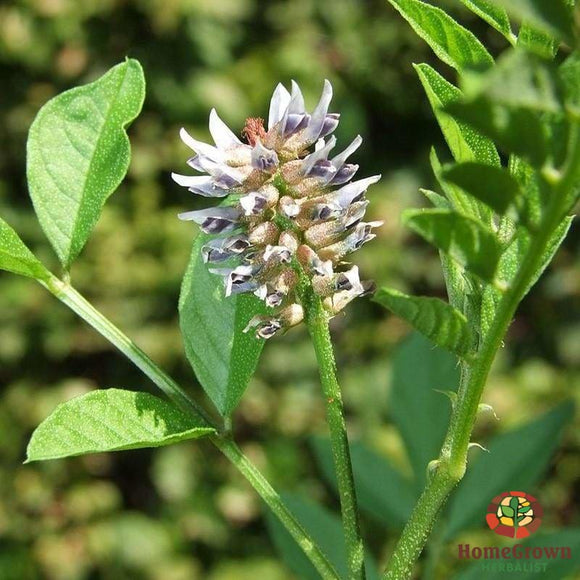 Licorice (Glycyrrhiza glabra) - simple HomeGrown Herbalist herb licorice simple single