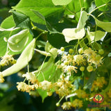Linden (Tilia spp.) - simple HomeGrown Herbalist herb linden simple single