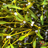 Mistletoe (Viscum album) - simple HomeGrown Herbalist herb Mistletoe simple single
