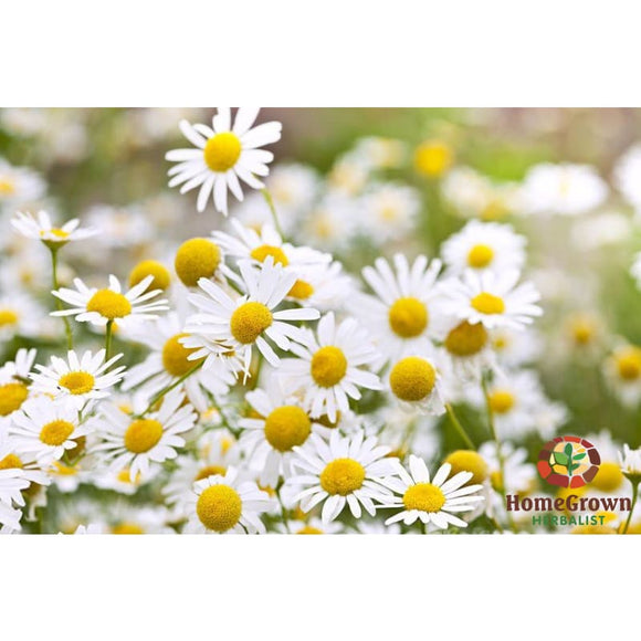 Monograph: Chamomile - Learning Modules Homegrown Herbalist