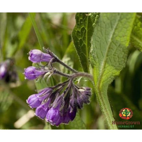 Monograph: Comfrey (Symphytum Officinale) - Learning Modules Homegrown Herbalist