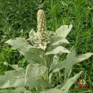 Mullein Root - simple HomeGrown Herbalist herb mullein root simple single