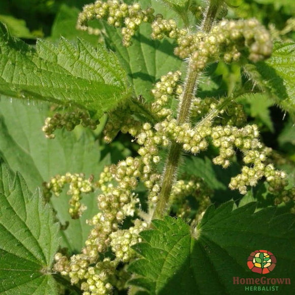 Nettle Seed (Urtica dioica) - simple HomeGrown Herbalist herb Nettle seed simple single