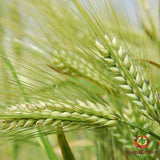 Oat Straw (Avena sativa) - simple HomeGrown Herbalist herb Oat Straw simple single
