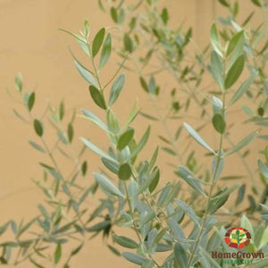 Olive Leaf (Olea europaea) - simple HomeGrown Herbalist herb leaf Olive simple single