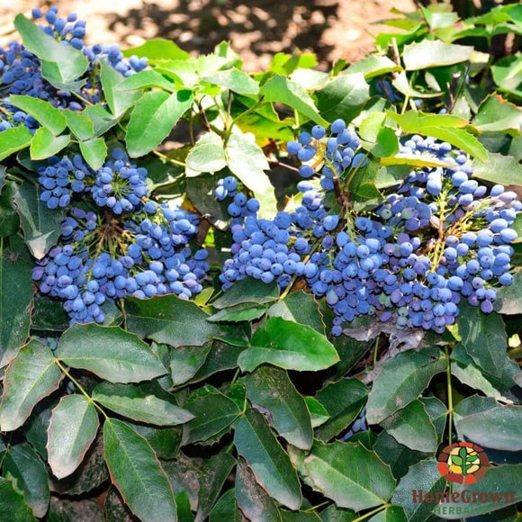 Oregon grape (Mahonia repens) - simple HomeGrown Herbalist herb Oregon grape simple single