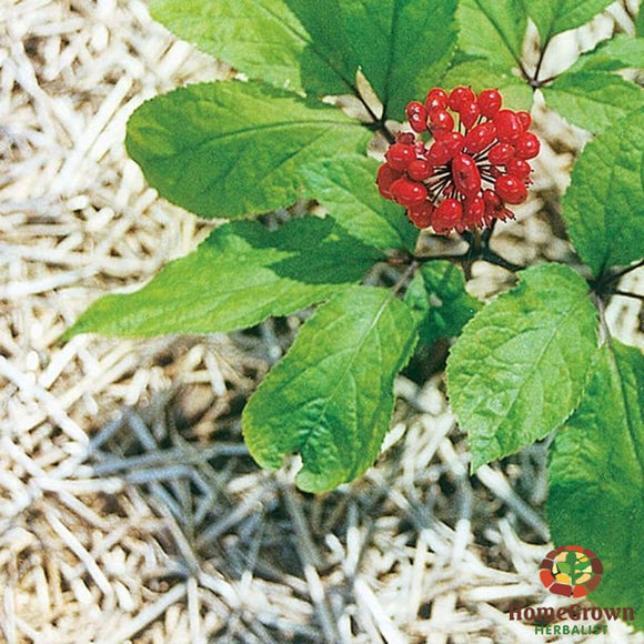 Panax Ginseng (Panax ginseng) - simple HomeGrown Herbalist herb Panax Ginseng simple single