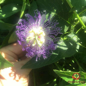 Passionflower (Passiflora incarnata) - simple HomeGrown Herbalist herb Passionflower simple single