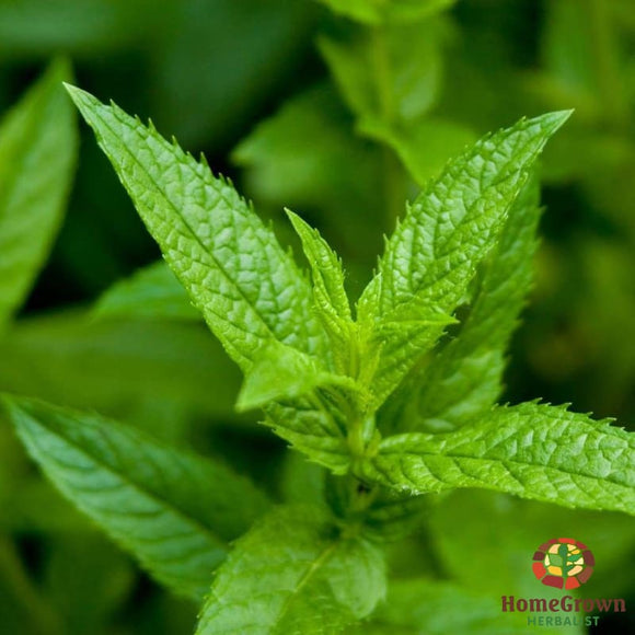 Peppermint (Mentha piperita) - simple HomeGrown Herbalist herb Peppermint simple single