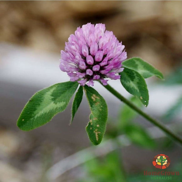 Red Clover (Trifolium pratense) - simple HomeGrown Herbalist herb Red Clover simple single