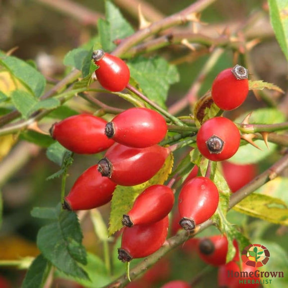 Rose Hips (Rosa spp.) - simple HomeGrown Herbalist herb Rose Hips simple single