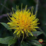 Safflower (Carthamus tinctorius) - simple HomeGrown Herbalist herb Safflower simple single