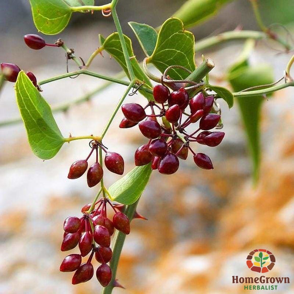 Sarsaparilla (Smilax ornata) - simple HomeGrown Herbalist herb Sarsaparilla simple single
