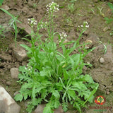 Shepherds Purse (Capsella bursa-pastoris) - simple HomeGrown Herbalist herb Shepherds Purse simple single