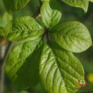 Siberian Ginseng (Eleutherococcus senticosus) - simple HomeGrown Herbalist herb Siberian Ginseng simple single