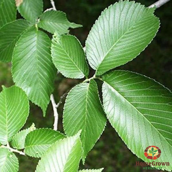 Slippery Elm (Ulmus rubra) - simple HomeGrown Herbalist herb simple single Slippery Elm
