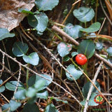Squaw Vine (Mitchella repens) - simple HomeGrown Herbalist herb simple single Squaw Vine