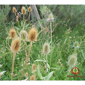 Teasel Root (Dipsacus spp.) - simple HomeGrown Herbalist Bucchu Leaf herb simple single topical