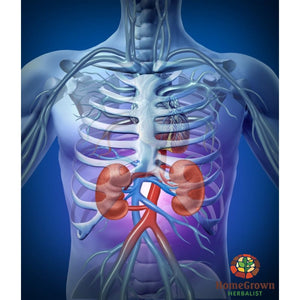 Urinary System: Function Dysfunction & Herbal Interaction - Audio File - Homegrown Herbalist