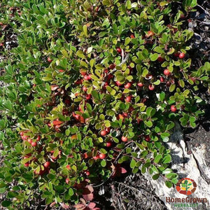Uva Ursi (Arctostaphylos uva ursi) - simple HomeGrown Herbalist herb simple single Uva Ursi