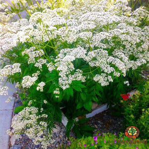 Valerian (Valeriana officinalis) - simple HomeGrown Herbalist herb simple single topical Valerian