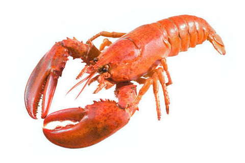 Lobster, Maine, Live (when available)