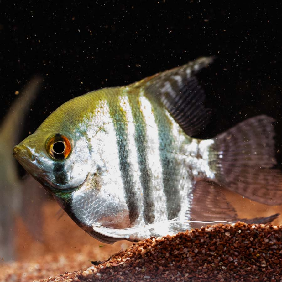 Mixed Angelfish Large - In Store Pick Up Only