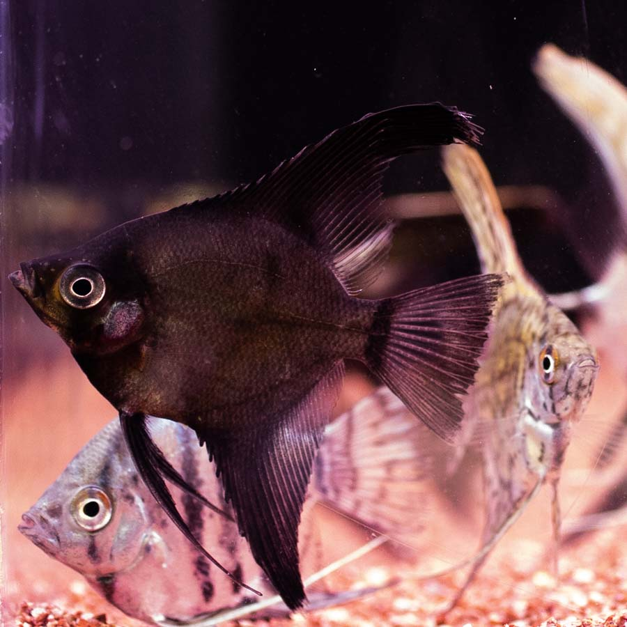 Mixed Angelfish Medium - In Store Pick Up Only
