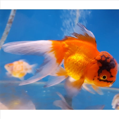 Assorted Oranda Small 5cm - In Store Pick Up Only