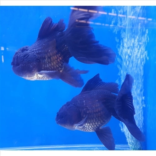 Black Oranda Xtra Large 15cm - In Store Pick Up Only