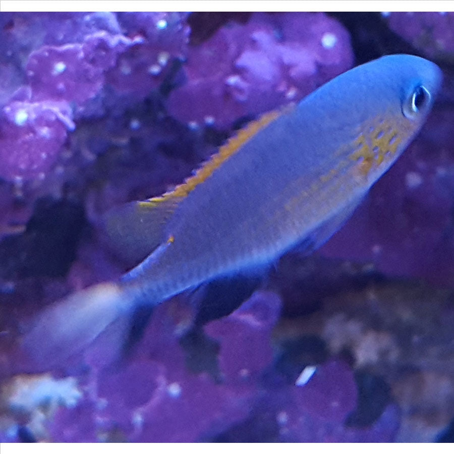 Vanderbilts Chromis - Pick Up In Store Only