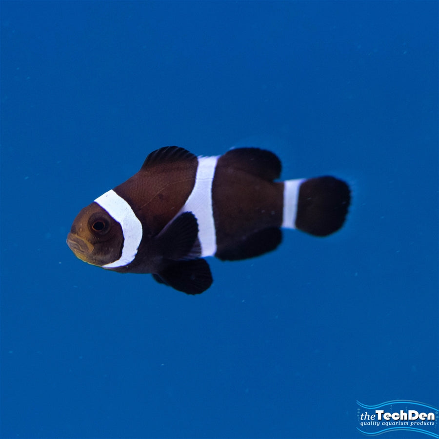 Black White Clownfish - Pick Up In Store Only