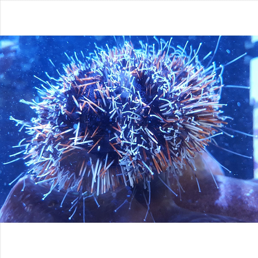 Urchins - In Store Pickup Only