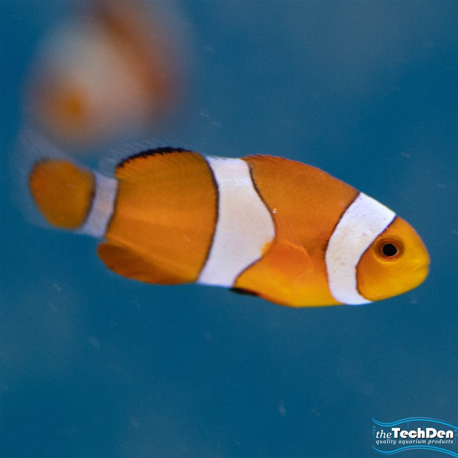 Orange and White Ocellaris Clownfish - Pick Up In Store Only